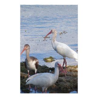 Papeterie 3 IBIS sur le rivage de la baie de la Floride