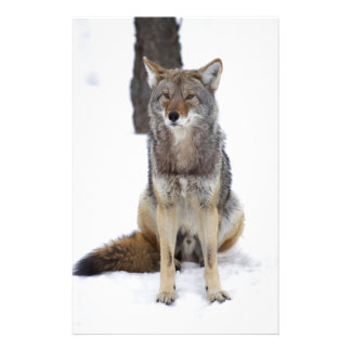 Papeterie Coyote se reposant dans la neige