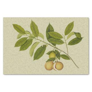 Papier Mousseline Copie botanique d'arbre de noix de muscade