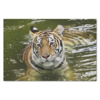 Papier Mousseline Tigre dans l'eau