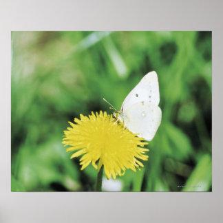 Papillon blanc alimentant sur un pissenlit poster