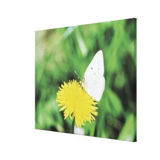 Papillon blanc alimentant sur un pissenlit toile tendue sur châssis