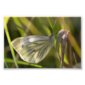 papillon blanc Vert-veiné Photographes