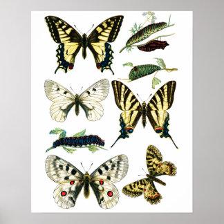Papillon coloré, Caterpillar et mite de machaon Poster