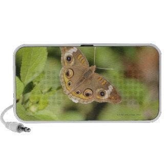 Papillon commun de maronnier américain, Junonia co Haut-parleurs