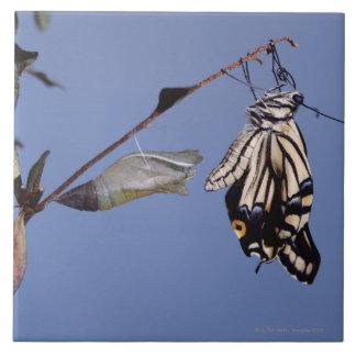 Papillon de machaon après métamorphose grand carreau carré