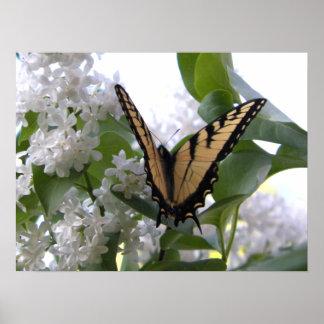 Papillon oriental de machaon de tigre sur le lilas posters