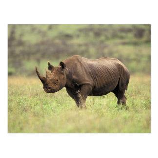 Parc national du Kenya, Nairobi. Rhinocéros noir Cartes Postales