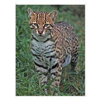 Pardalis de Leopardus d'OCELOT) AMÉRIQUE CENTRALE Carte Postale