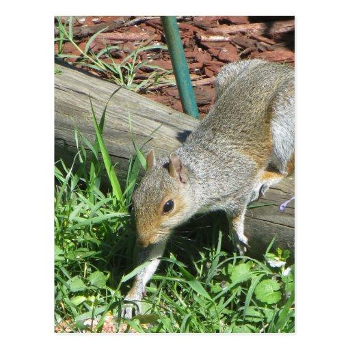 Patte de élargissement d'écureuil carte postale