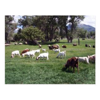 Pâturage des chèvres carte postale