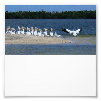Pélicans blancs tirages photo