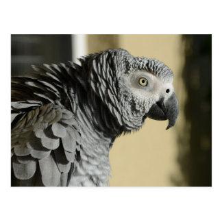 Perroquet de gris africain du Congo avec les Cartes Postales