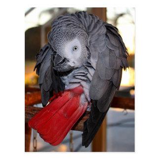 Perroquet flexible de gris africain du Congo avec Cartes Postales