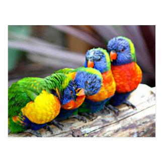 Perroquets doucereux cartes postales