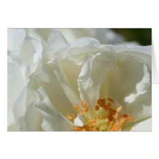 Pétales - roses sauvages blancs - photographie flo cartes de vœux