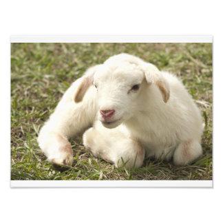 Petit agneau mignon photographe