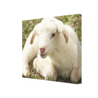 Petit agneau mignon toiles
