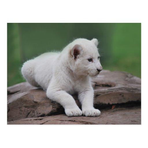 Petit animal de lion blanc de bébé 2 cartes postales