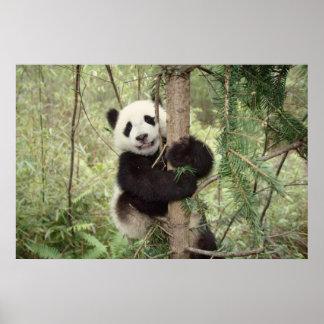 Petit animal de panda jouant sur l'arbre, Wolong,  Affiches