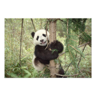 Petit animal de panda jouant sur l'arbre, Wolong,  Impressions Photographiques