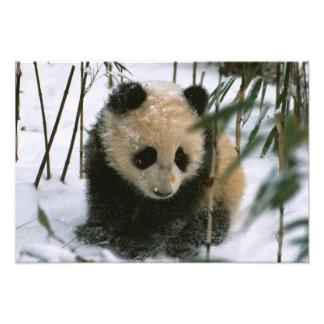 Petit animal de panda sur la neige, Wolong, Sichua Photographe