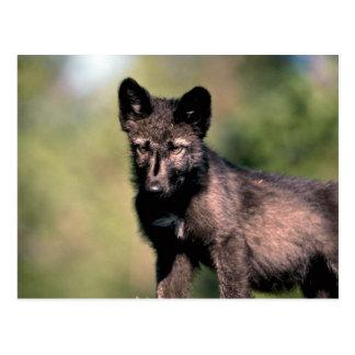 Petit animal gris de Loup-été (noir-phase) Carte Postale