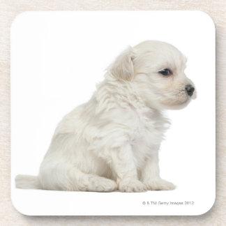 Petit lion de chien ou petit chiot de chien de lio sous-bocks