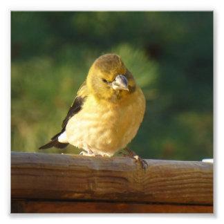 Petit oiseau jaune impression photo