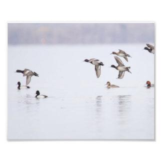 Peu de canards de fuligules milouinins sur la baie impression photo