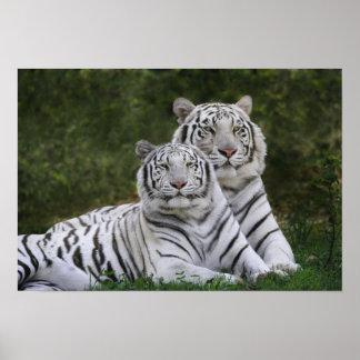 Phase blanche, tigre de Bengale, Tigre Posters