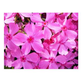 Phlox assez rose carte postale