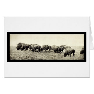 Photo 1906 de Buffalo de bison américain Cartes
