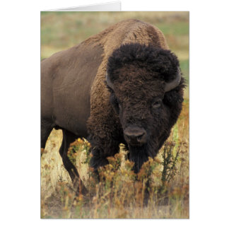 Photo de bison cartes