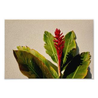 Photo de fleur de gingembre
