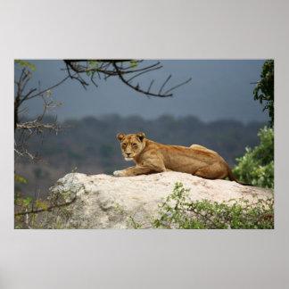 Photo de lion africain se trouvant sur la roche en affiches