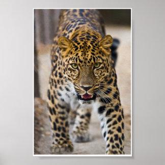 Photographie courante de léopard posters