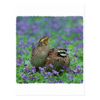 Photographie de cailles carte postale