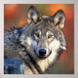 Photographie de loup posters