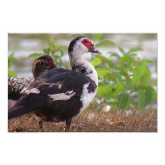 Photographie de Muscovy de deux femelles