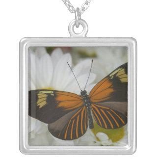 Photographie de Sammamish Washington du papillon Collier