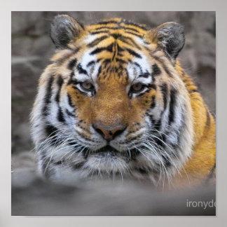 Photographie de tigre sibérien posters