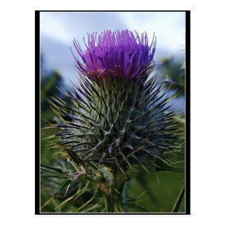 Photographie écossaise de beaux-arts de chardon carte postale