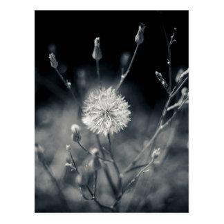Photographie noire et blanche de pissenlit carte postale