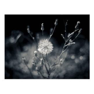 Photographie noire et blanche de pissenlit cartes postales