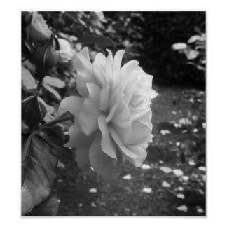 Photographie noire et blanche de rose posters