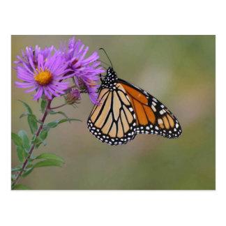 Photographies de papillon de monarque carte postale
