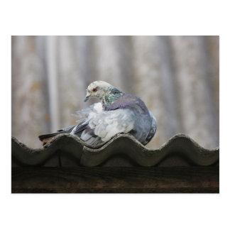 Pigeon sur le toit carte postale