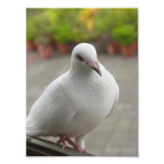 Pigeons blancs photographies