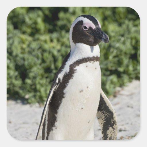 Pingouin africain, autrefois connu sous le nom stickers carrés